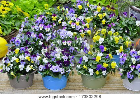 Pansies In Colorful Pots