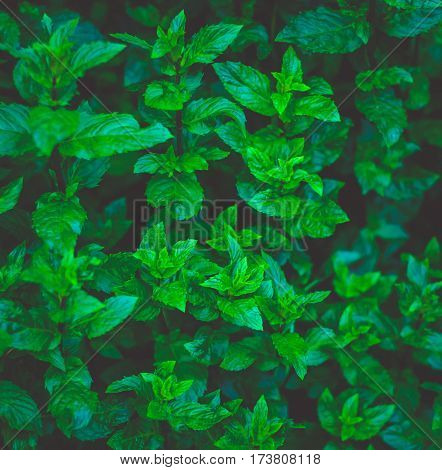 Pepper mint leaves at the nature. Green mint leaves in sunset light.