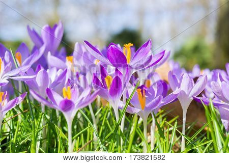 Crocuses in spring. Crocuses. Flowers in spring