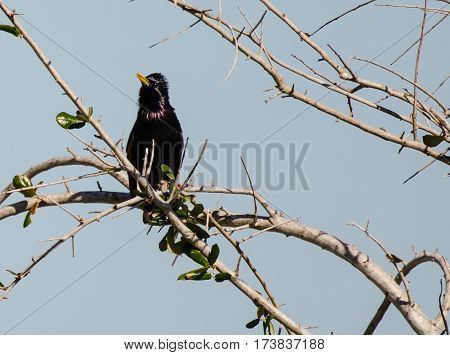 A European starling ruffling its feathers while perched on the branch of a tree