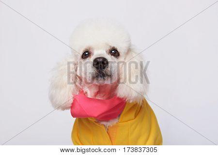 Dressed White Poodle Isolated On White Background