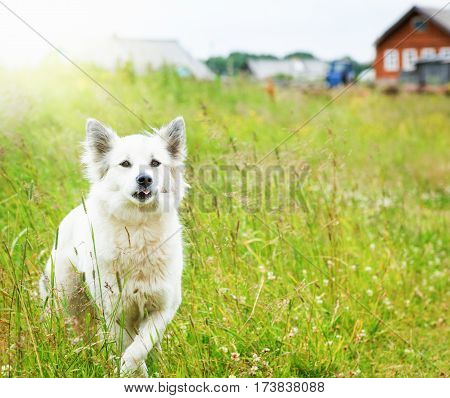 White fluffy dog runs across the field on a background of the countryside