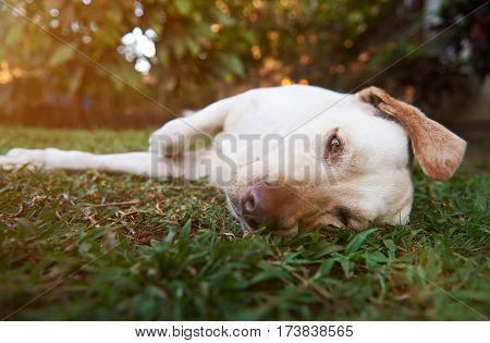 Lazy Brown Labrador Dog