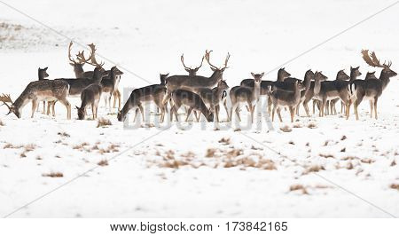Herd Of Fallow Deer In Meadow Covered With Snow.
