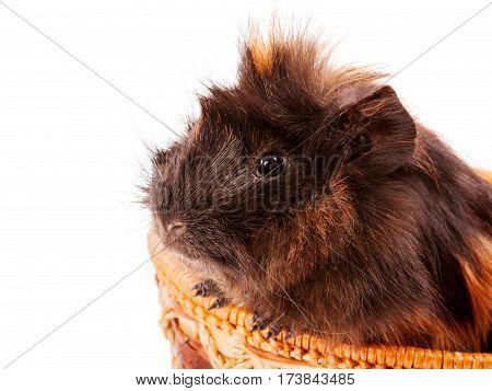 Cavy Pet Closeup