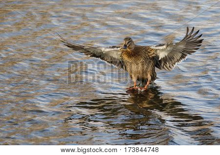 Mallard Duck Coming in for a Landing on the Still Water