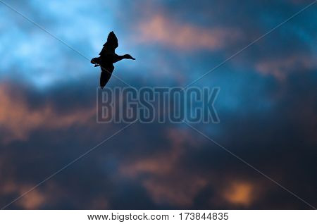 Silhouetted Duck Flying in the Sunset Sky