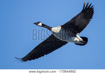 Canada Goose Flying in a Blue Sky