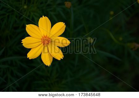 Orange cosmos flower on dark green shrub background. Cosmos is genius of plant in same family as sunflower. Cosmos are herbaceous perennial plants native in Mexico.