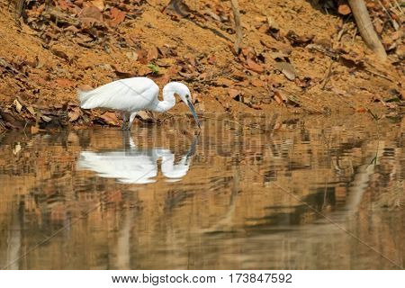 Little egret aquatic heron bird with its reflection walking on water pond looking for fish in Thailand, Asia