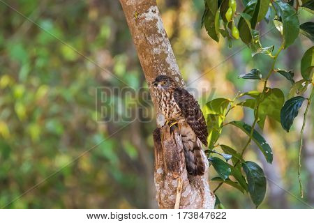 Large Hawk Cuckoo, eagle hawk bird in brown with dots on tummy, yellow eye rings perching on tree in Thailand, Asia (Hierococcyx sparverioides)