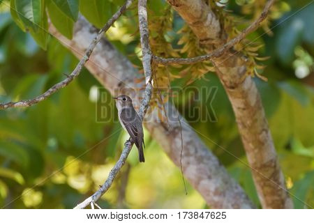 Cute little Asian Brown Flycatcher bird in brown perching on branch in Thailand, Asia (Muscicapa dauurica)