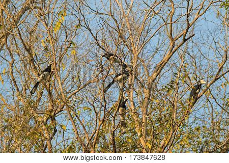 Group of male female Oriental pied hornbill bird roosting gather together in the evening on tree branches before sunset in Khao Yai national park, Thailand, Asia