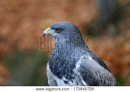 Aguja great is a species of bird of prey family Accipitridae.