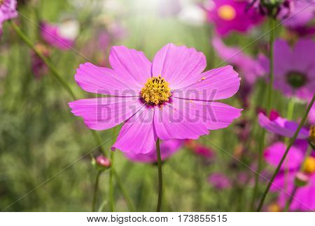 Close up of Cosmos flower (Cosmos Bipinnatus) with blurred background