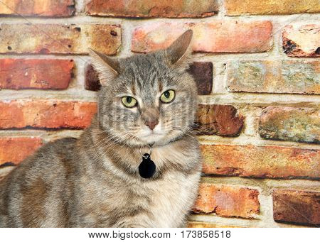 Portrait of one gray domestic tabby short hair cat with light yellow green eyes looking at viewer. Sitting in front of a textured brown and red brick wall looking perplexed. Wearing blank name tag