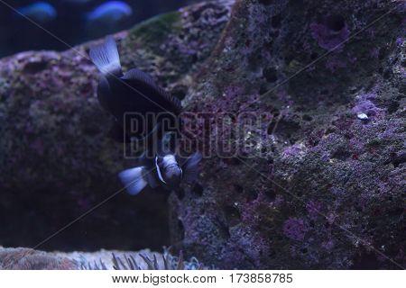 Mccullochi Clownfish