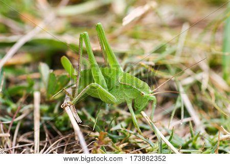 Grasshopper on a green leaf. macro  photo