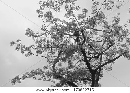 Tamarine tree with the red flower for background and pattern. Black and white version.