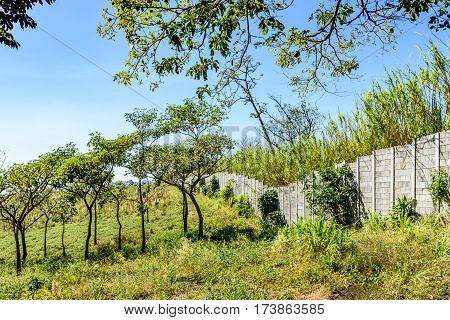 Saplings in field & boundary wall with sugar cane field behind in Escuintla, Guatemala, Central America