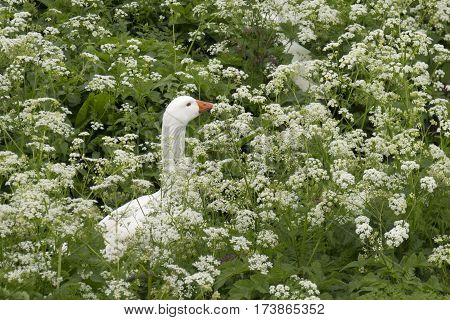 Cow Parsley With Goose