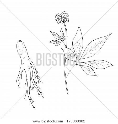 Root and leaves panax ginseng sketch style. Hand draw vintage illustration of medicinal plants. For traditional medicine gardening. Biological additives are.