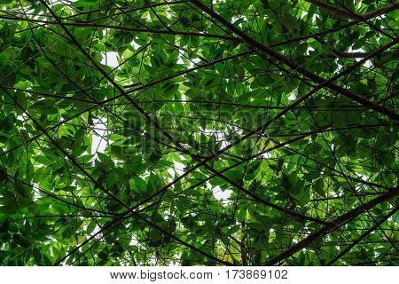 Lush green foliage of tropical trees and clear sky in jungle forest. Warm spring sun shining through the canopy of tall trees. Bushy green leaves on a branch in thick summer forest, outdoor landscape