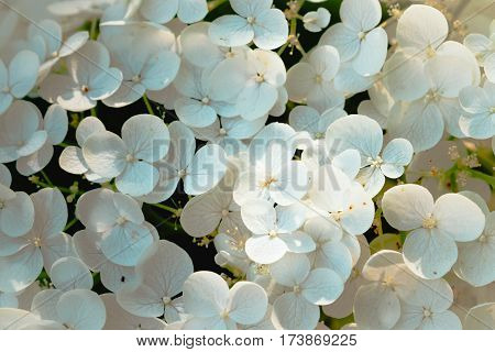 Fresh spring background with gently white flowers blooming. Beautiful colorful hortensia blooming in garden, outdoor nature photography