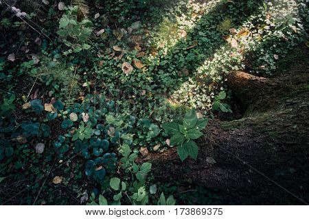 Green forest foliage with sun beams, spring nature background. Dense and lush forest moss growing on a tree in summer. Tree trunk covered with moss and dried leaves covering green grass in deep woods.