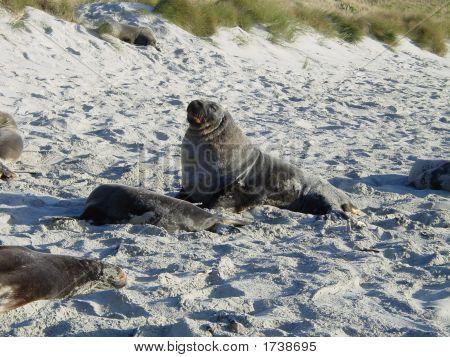 Beachmaster - Hooker Sea Lion