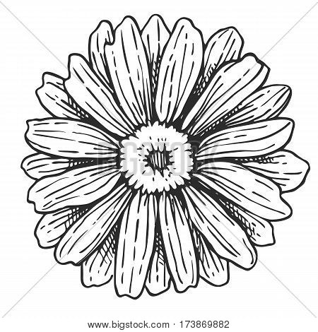Flower freehand pencil drawing isolated on white background vector illustration. Floral monochrome sketch, herb and botany design element. Wild flower icon in vintage style.