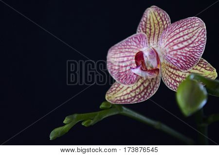 branch with butane flower Orchid Phalaenopsis on black background