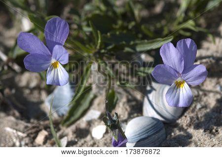 Unidentified Wild Pansy (viola Sp.)