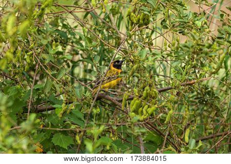 Weaver Taveta the type of bird is found in Kenya and Tanzania southern masked weaver national park South Africa