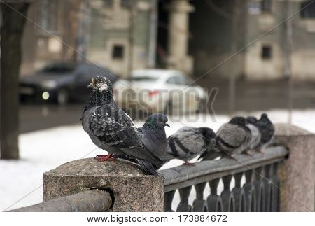 pigeons sitting on a fence in the city on the street rear car ride winter