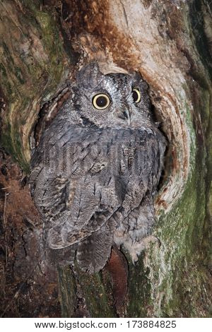An  upright vertical image of a small screech owl perched in a hole in a tree and looking backwards