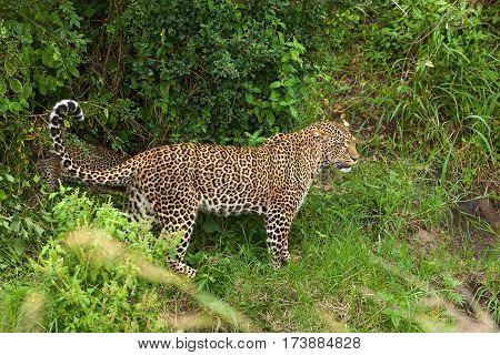 leopard at Masai Mara national park animal mara leopard reserve cat wild masai africa