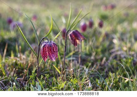 Early spring lily flower background Fritillaria meleagris .
