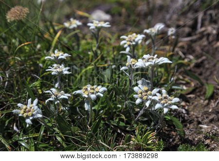 Bouquet of rare Edelweiss flowers during summer in Bucegi mountains, Romania.