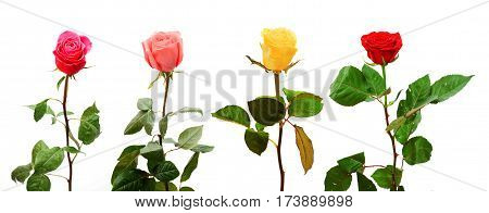 a set of four colorful fresh roses isolated on white background