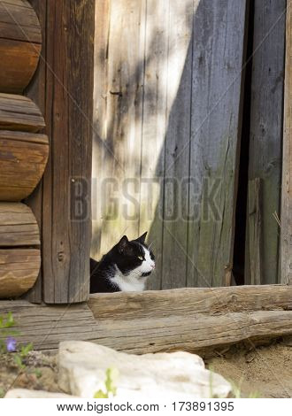 Beautiful fluffy black and white cat with yellow eyes and white whiskers sitting threshold of yard