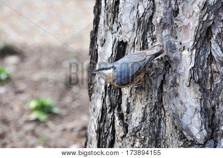 Eurasian nuthatch, wood nuthatch; Sitta europaea, clinging on tree