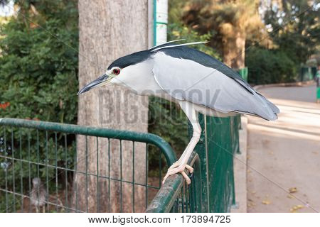 Black crowned night heron sitting on the green fence in the public park