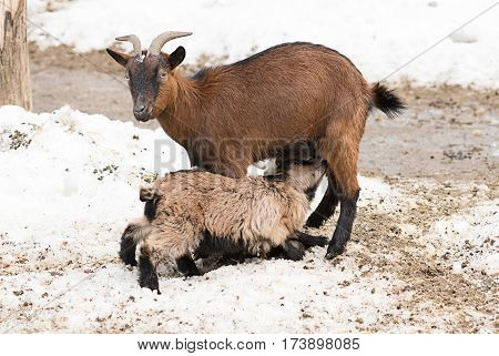 A baby lamb sucks the milk of the goat farm