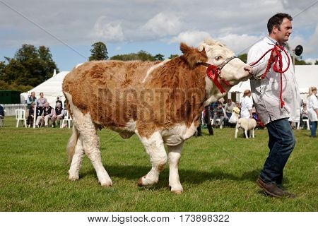 WEEDON, UK - AUGUST 27: A champion cow is led around the main arena during the Grand Livestock parade for the public to view at the Bucks County show on August 27, 2015 in Weedon
