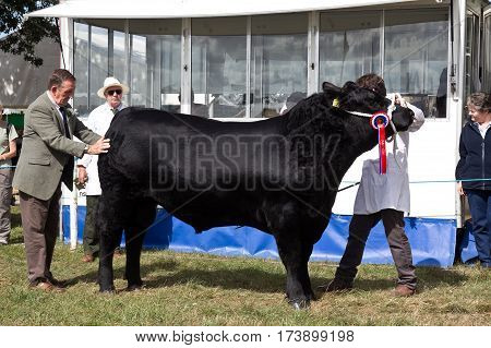 WEEDON, UK - SEPTEMBER 1: A handler holds a large bull steady for the judge to view during one of the many cattle competitions at the Bucks County Show on September 1, 2016 in Weedon