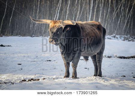 Aurochs standing in snow in Germany Bavaria