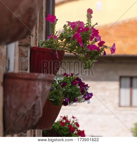 Flowers on a wall of an inhabited house in italian small town