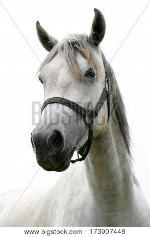 Head shot of a young shagya arabian stallion against white background