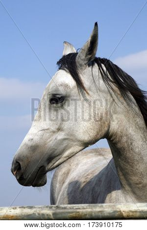 Side view head shot of a young arabian foal against blue sky